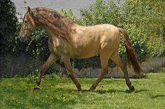 Click this image to show the full-size version. Dun Horse, Andalusian Horse, English Riding, Photo Competition, Horse Breeds, Horse Love, Horses, Horse Stuff, Cob