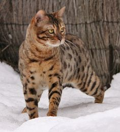 Bengal cat - brown spotted