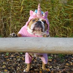 This English Bulldog dressed as a unicorn doesn't look sure about anything that is happening.   www.bullymake.com via: @kingmajesty_and_princessrose