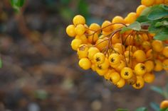 Pyracantha 'Soleil d'Or' (Vuurdoorn) Vegetables, Garden Ideas, Plants, Vegetable Recipes, Veggie Food, Planters, Veggies, Plant, Planting