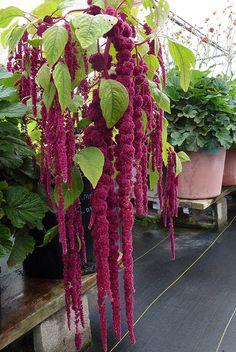 Amaranthus caudatus Love Lies 9-12 e GOOD, via Flickr.