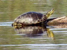 Turtle  at rest by Nipntuck3