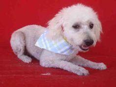 SPENCER - ID#A1478110  My name is Spencer and I am a neutered male, white Poodle - Miniature.  The shelter thinks I am about 5 years old. I weigh approximately 14 pounds.  I have been at the shelter since May 15, 2014. call: North Central Animal Care and Control Center at (888) 452-7381 Ask for information about animal ID number A1478110