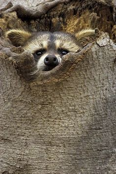 """Raccoon: """"I bet you can't see me?!"""""""