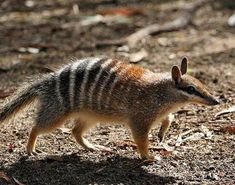 The numbat, also known as the banded anteater, or walpurti, is a marsupial found in Western Australia. Its diet consists almost exclusively of termites