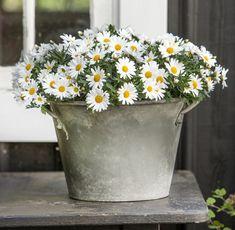 argyranthemum.jpg | struikmargriet