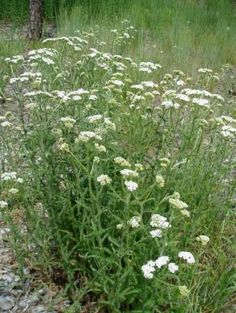 Achillea millefolium (Yarrow) - Use on wounds to stop bleeding and stave off infection. Make tea to lower fevers, fight colds, stop hemorrhaging, reduce cramps, and reduce inflammation. Chew for toothaches.