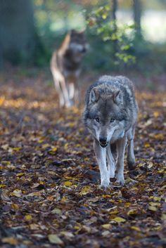 autumn wolf   animal + wildlife photography #wolves