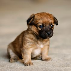 Border Terrier Puppy .. once our son is potty trained, we will have once of these! (: