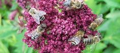 Common pesticide named as cause of bee decline.