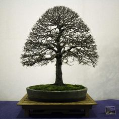 Zelkova Bonsai, Red Maple Bonsai, Bonsai Tree Types, Dwarf Trees, Bonsai Styles, Pot Plante, Tree Sculpture, Bonsai Garden, Garden Stones
