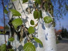 nyírfa törzse és levele, vízhajtó Green Leaves, Plant Leaves, Betula Pendula, River Bank, Golden Color, Trees And Shrubs, Birch, Plants, Gardening