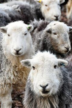 The faces (something about sheep).