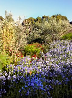 a botanical paradise ~ Delaire Graff South African Wine, Agapanthus, Luxury Accommodation, Trees To Plant, Wines, Vineyard, Paradise, Gardens, Gallery