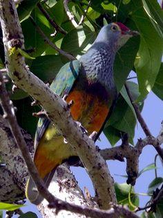 MARIANA FRUIT DOVE - Ptilinopus roseicapilla . . . Also Mwee'Mwe in the Carolinian language, Totot on Guam or Paluman Totut in Northern Marianas Islands . . . Guam, Northern Marianas Islands