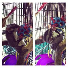 Mini holey roller ball stuffed with shredded paper and treats hung in cage for sugar glider