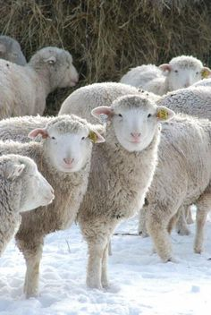 Sheeps in snowy Carrington #TopAmazingWorld