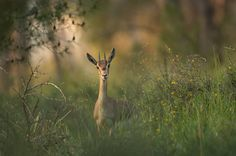 Gazelle in a green field in Jerusalem