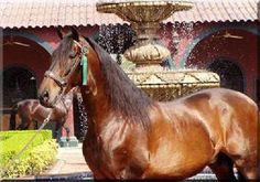 Rondeño XI - Andalusian stallion