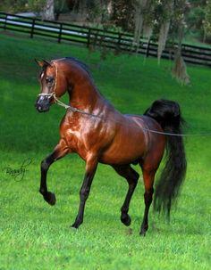 Bay Arabian Stallion, Shaddofax ~ GORGEOUS! BUT, I believe that Shaddofax was a GREY, not a bay ;)