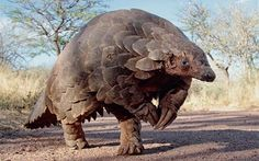 With its armoured shell and peculiar gait, the humble pangolin looks more like an anteater prepped for medieval battle than an animal under threat.