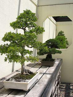 Die 153 Besten Bilder Von Garden Bonsais Green Plants Indoor