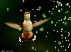 Stunning: The quick-witted hummingbird hovers in mid-air to drink from the garden sprinkler