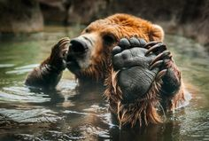 Talk to the Paw - Brown Bear in pool makes morning ---- grizzly bear Ursus arctos abulationabulations Nature Animals, Animals And Pets, Baby Animals, Funny Animals, Cute Animals, Baby Pandas, Wild Animals, Beautiful Creatures, Animals Beautiful