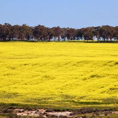 Canola fields as far as the eye can see (I ogled over these fields whilst on a day trip in York on the weekend) Canola Field, Day Trip, Perth, Fields, Golf Courses, Country Roads, York, Canning, Eyes