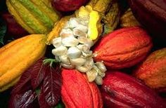 cacao tree - where chocolate begins. This is the raw form before processing takes place.