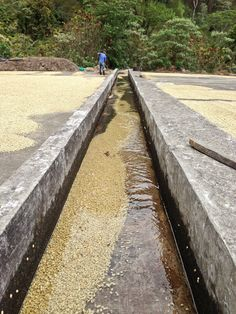 After fermenting coffee for hours, the washed coffee will then travel down this long cement channel where the left over mucilage will be rubbed off. Guatemala Coffee, Coffee Process, Or Noir, Coffee Roasting, Coffee Beans, Coffee Shop, Batman Art, World, Stuff To Buy