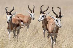 size: Photographic Print: Springboks by Ivana Tacikova : National Animal, National Parks, World's Most Beautiful, Beautiful Images, Deadly Creatures, World Images, East Africa, Wildlife Photography, Find Art