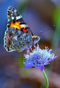 Butterfly on blue budded flower.