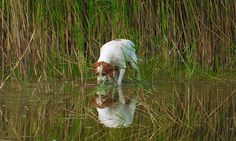 Pies rasy Braque St. Germain- Tükörkép 2.