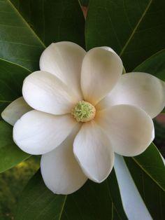 Perfect magnolia blossom…