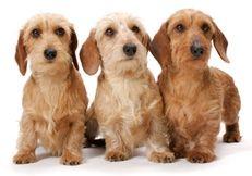 Miniature wire haired Dachshund Puppies | AP-XMLLKF - Dachshunds (Miniature Wire)