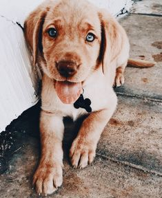 Labrador Training: k a t i e 🥀 k a t i e 🥀 – Sam ma Dog Training Cute Puppies, Cute Dogs, Dogs And Puppies, Doggies, Cute Baby Animals, Animals And Pets, Funny Animals, Labrador Retrievers, Retriever Dog