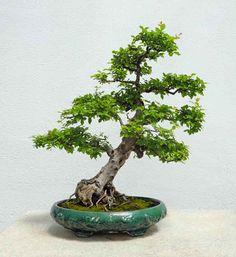 Sweetplum #Bonsai Tree...