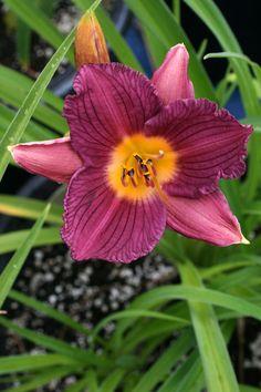 "'Razzmatazz'. Rebloomer. Grows to 50cm (20"") high, blooms are 6cm (2.5"")."