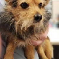 Kokomo Indiana Yorkie Yorkshire Terrier Meet Jello A For