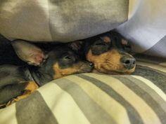 Min Pin Mini Pinscher, Miniature Pinscher, Doberman Pinscher, Min Pin Puppies, Cute Puppies, Cute Dogs, Pincher Dog, Min Pins, Miniature Dachshunds