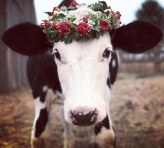 This is Cornelius Cottonlashes. He was rescued from the veal/dairy industry and now lives at Enchanted Farm Sanctuary in Oregon. He now spends his time competing in (and winning) flower crown competitions. Cute Baby Animals, Animals And Pets, Funny Animals, Wild Animals, Cow Pictures, Animal Pictures, Farm Animal Songs, Beautiful Creatures, Animals Beautiful