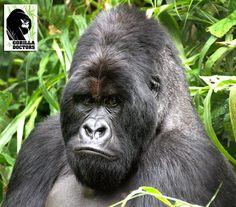 Silverback Kongomani in Rugendo group, Virunga National Park, DRC.