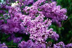 """Lilac Sunday"""