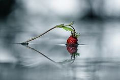 Strawberry Love by Anders Tufte - Photo 76957001 / 500px