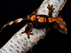 red harlequin crested gecko - Google Search                                                                                                                                                                                 More