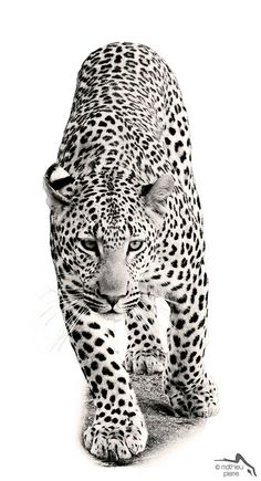 Leopard the Perfect Hunter | Flickr - Photo Sharing!