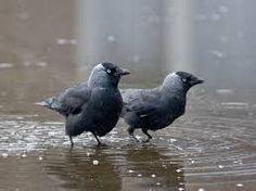 kauwen vogels - Google zoeken