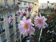 Bouquet d'anémones au #balcon #Paris http://www.pariscotejardin.fr/2016/09/bouquet-d-anemones-au-balcon/