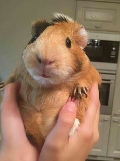 so cute guinea pig. I think the Guinea pigs are cute, round, fitting, and comfortable. Here are 16 pictures of adorable cute creatures Hamsters, Chinchillas, Rodents, Animals And Pets, Baby Animals, Funny Animals, Cute Animals, Baby Guinea Pigs, Guinea Pig Care